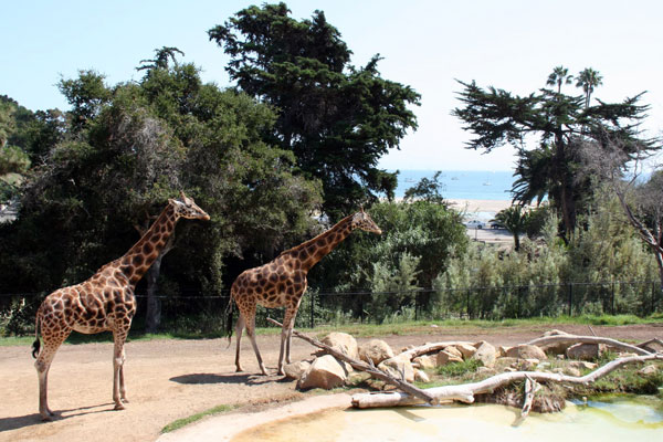 Giraffes at Santa Barbara Zoo