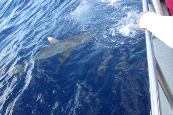 A Galapagos Shark