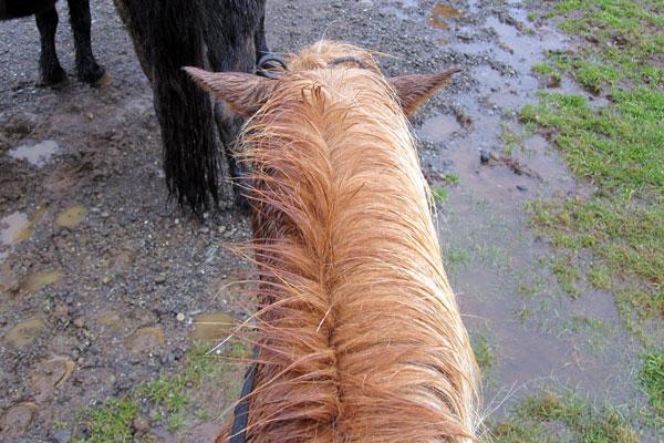 My Icelandic Horse plodding along