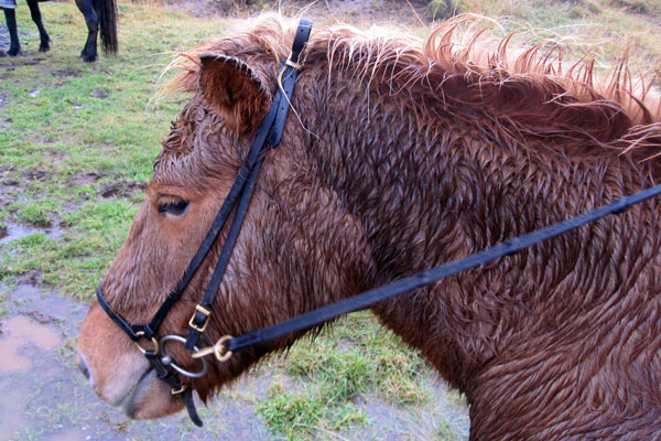 My Icelandic Horse Kiesha