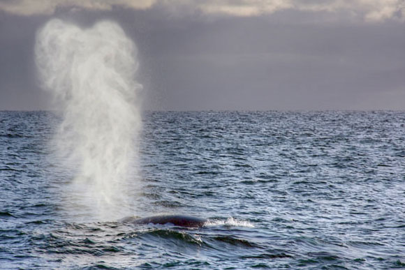 A blue whale exhaling in a huge blow