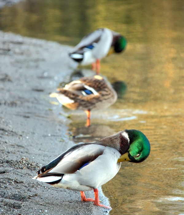 Ducks grooming themselves on Loch Lomond