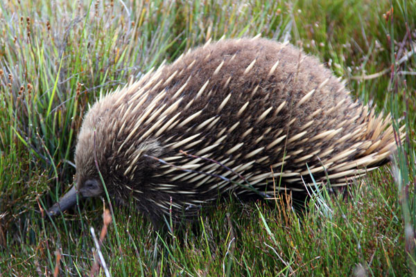 An echidna in Cradle Mountain National Park