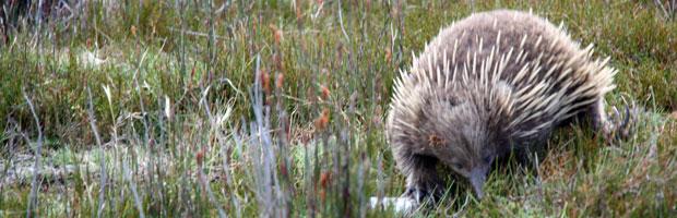 Thriving Australian Native Wildlife At Tasmania's Cradle Mountain