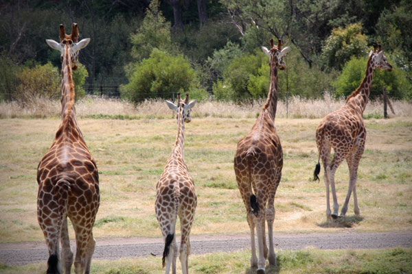 Four Giraffes at Werribee Open Range Zoo