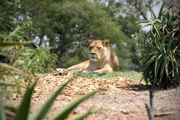 Female Lion at the Werribee Open Range Zoo