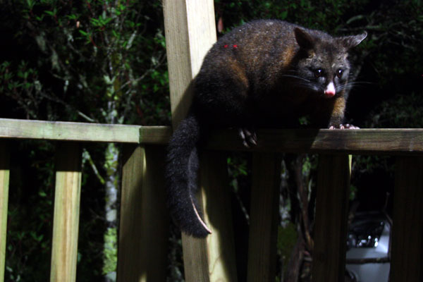 Possum trying to break into our accommodation!