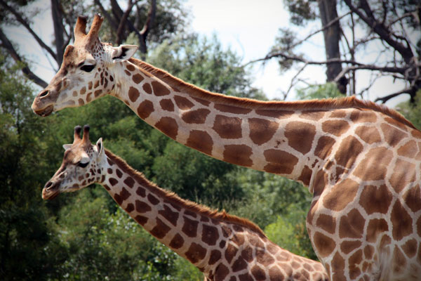 Giraffes at Werribee Open Range Zoo