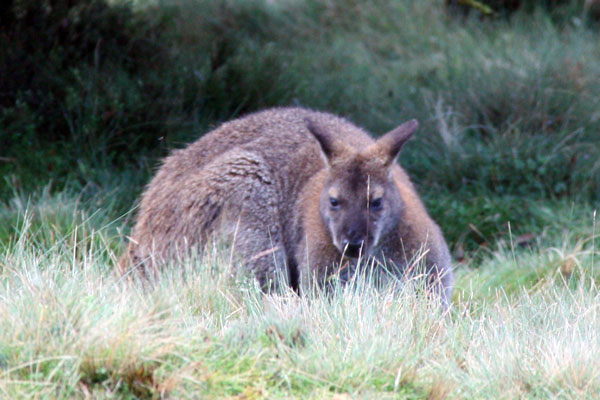 Wallaby at Cradle Mountain