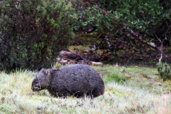 A massive Australian wombat!