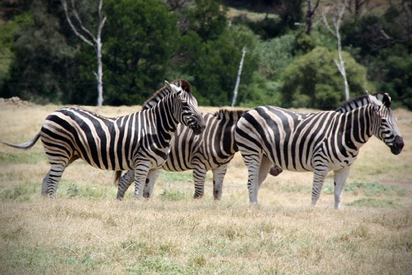 Zebras at Werribee Open Range Zoo