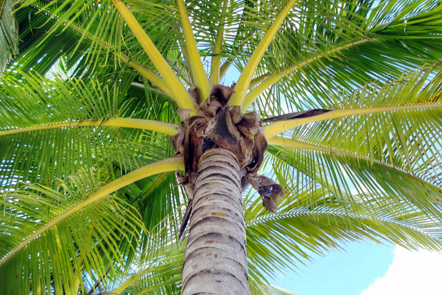 Coconut Tree in the Philippines
