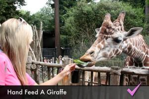 Hand feed a giraffe