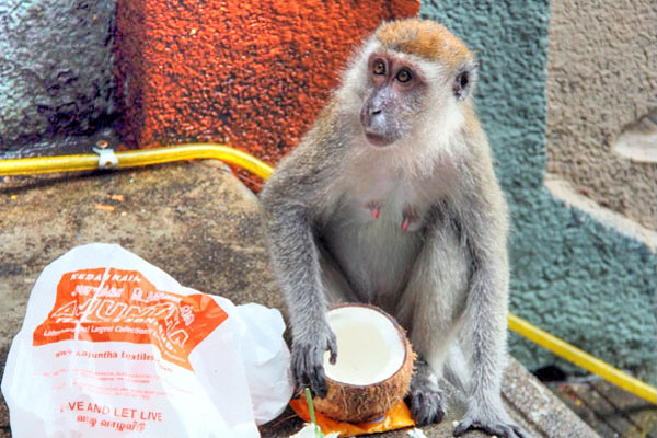 Thieving Monkey at Batu Caves