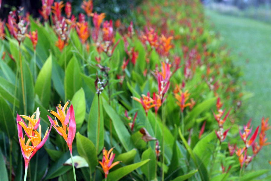 Heliconia Flowers in Hawaii