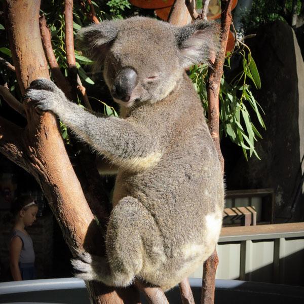 Koala at Wild Life Hamilton Island