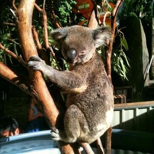 Breakfast with the Koalas
