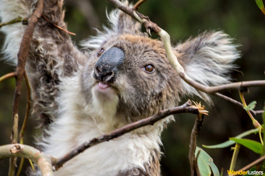 Wild Koala in South Australia