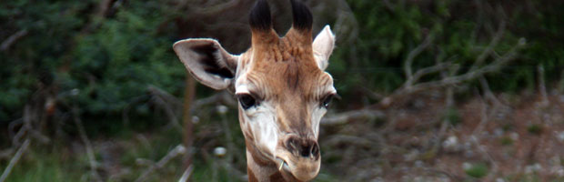 Hello Harriett – A Four-Week Old Baby Giraffe