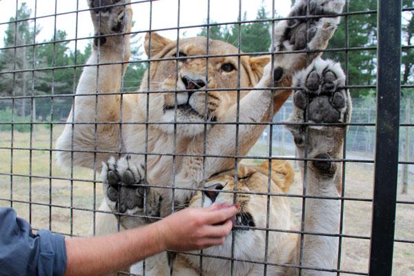 Lion Encounter at Orana Wildlife Park