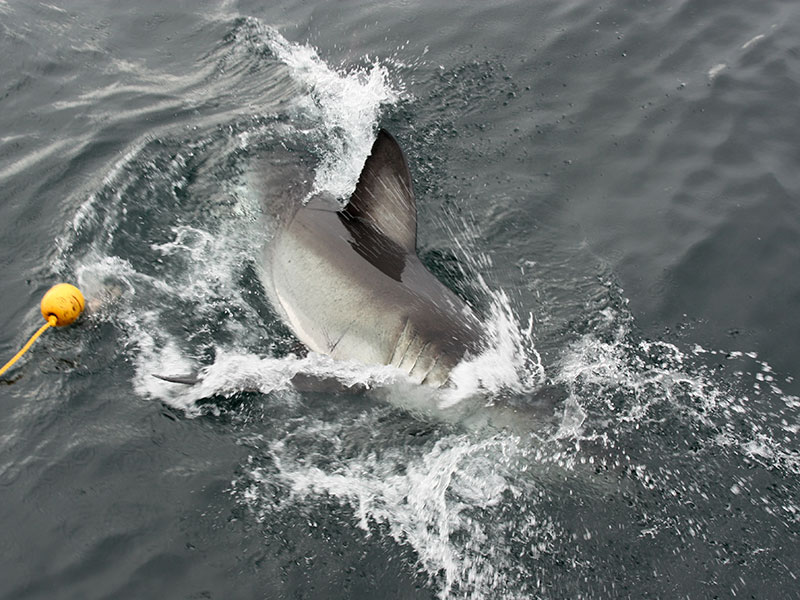 Great White Shark out of the water!