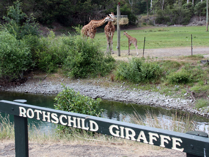 Rothschild Giraffes at Orana Wildlife Park