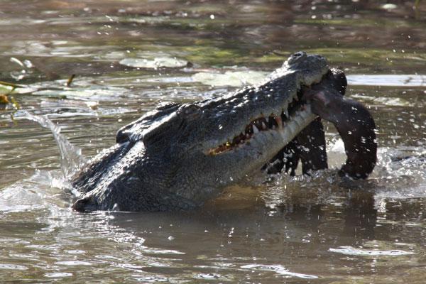 croc9
