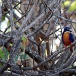 Orange Breasted Kingfisher