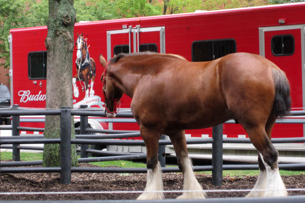 Budweiser Clydesdale